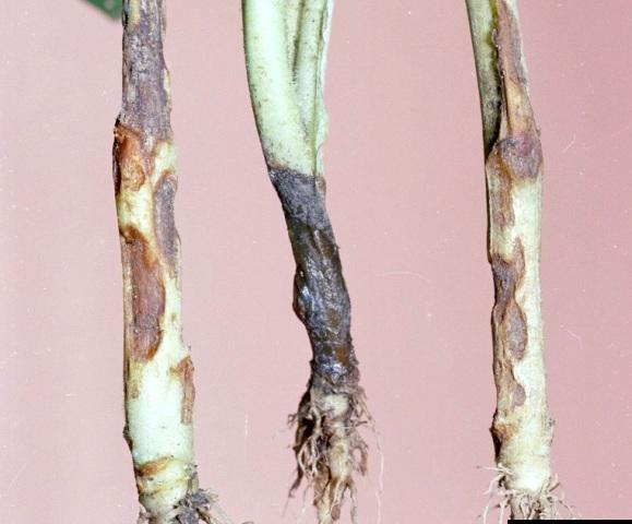 Черная ножка. Как выращивать болгарский