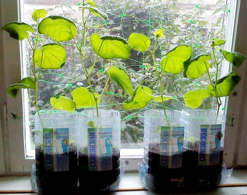 Пересаживание рассады огурцов в пластиковые бутылки