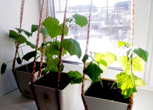 Как вырастить огурцы на балконе зимой