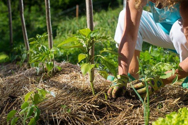 Как выращивать в огороде