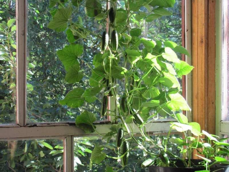 формирование куста огурца на балконе