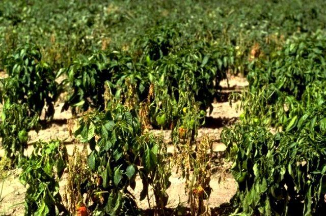 Фузариоз. Как выращивать болгарский
