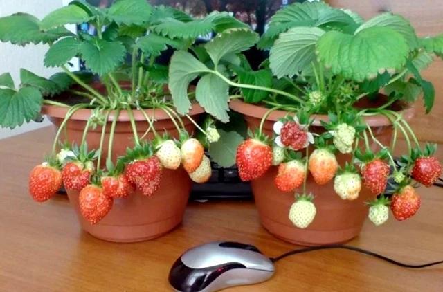 Выращивание клубники на подоконнике круглый год