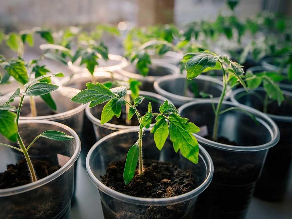 Как вырастить рассаду помидоров в домашних условиях