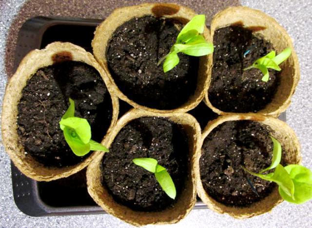 Выращивание рассады баклажанов в торфяных горшочках