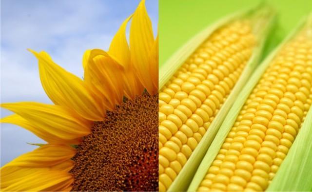 Кукурузное масло: полезные свойства