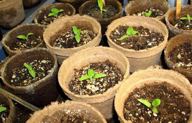 Как выращивать рассаду баклажанов в домашних условиях