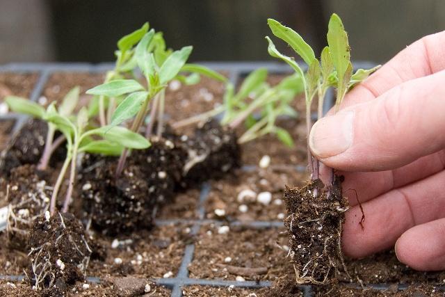 Как вырастить рассаду помидоров в домашних условиях: пикировка рассады