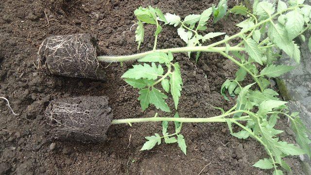 Как вырастить рассаду помидоров в домашних условиях: сроки пересадки в грунт