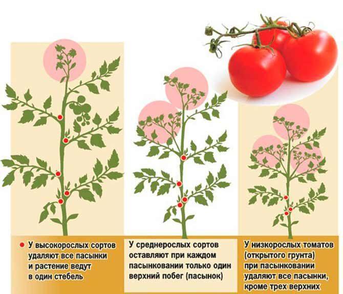Как вырастить помидоры в теплице: пасынкование томатов