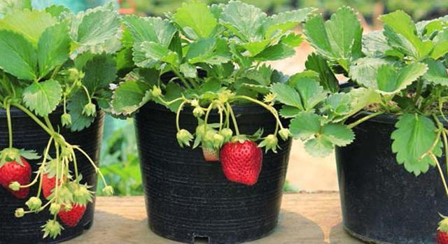 Выбор сорта клубники для выращивания в домашних условиях