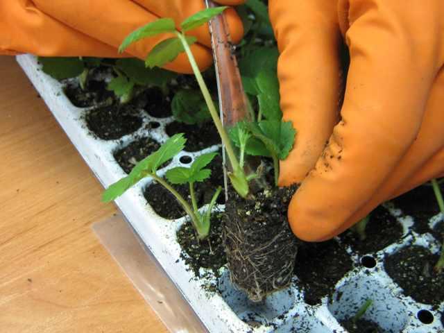 Выращивание клубники саженцами