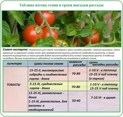 сроки посева и высадки томатов