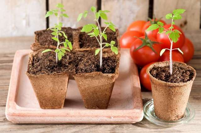 Как вырастить рассаду помидоров в домашних условиях по регионам