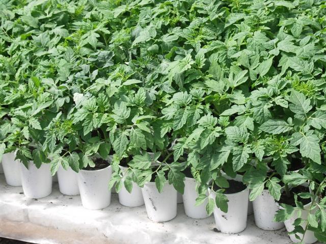 Как вырастить рассаду помидоров