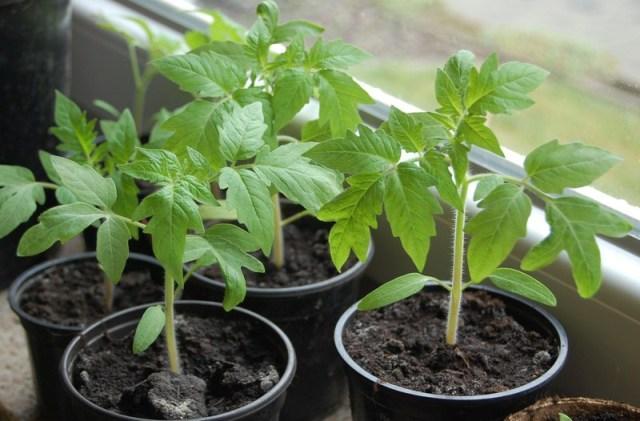 Как правильно вырастить рассаду помидоров