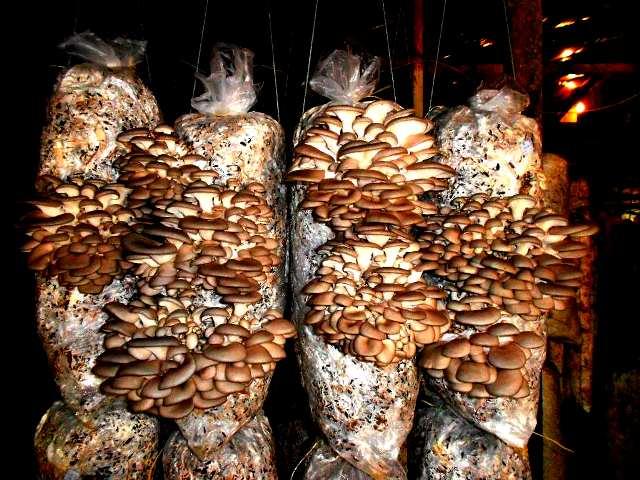 выращивание грибов в подвале