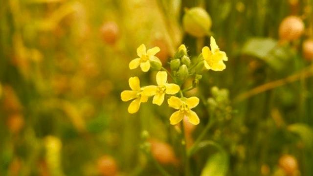 Однолетняя трава рыжик