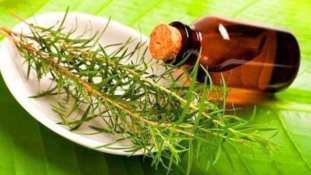 Состав масла чайного дерева
