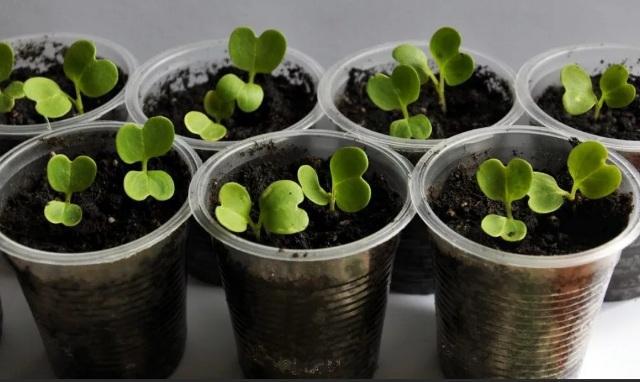 условия для выращивания рассады