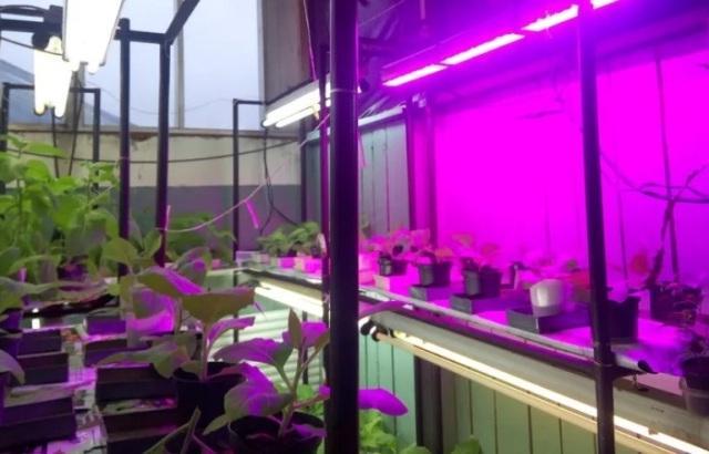 Выращивание рассады капусты в домашних условиях: освещение