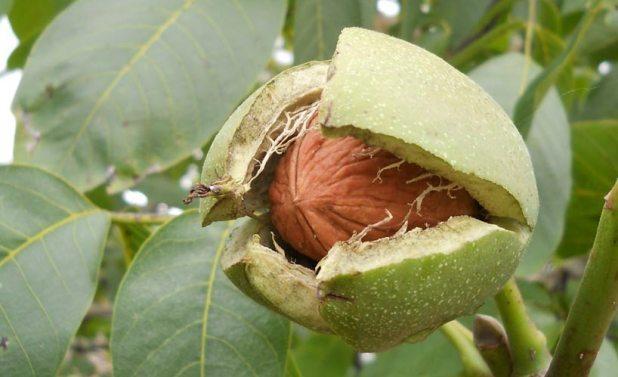 Полезные вещества грецкого ореха