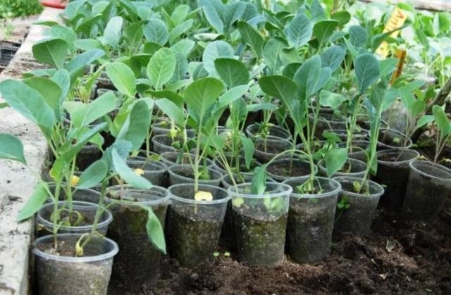 Выращивание рассады капусты в домашних условиях. Уход после пикировки