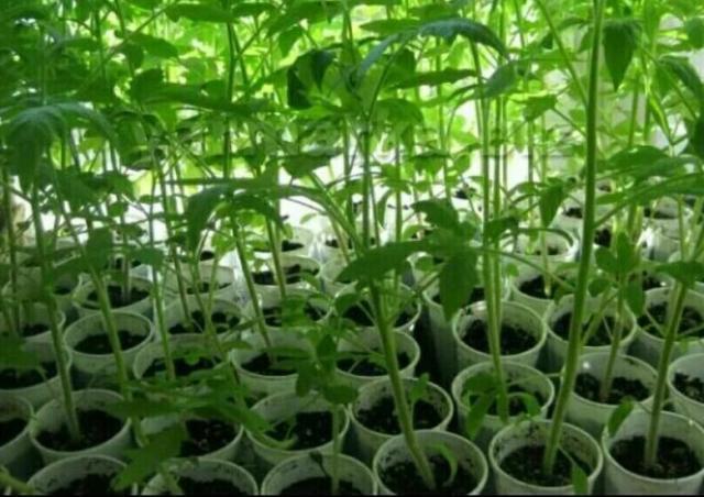 Как помочь ослабленной рассаде