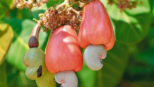 Орехи кешью польза и вред для организма