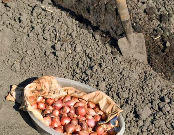 Как сажать лук севок в открытый грунт весной: подготовка почвы