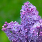 Цветы сирени: лечебные свойства и противопоказания
