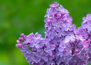 Цветы сирени: лечебные свойства