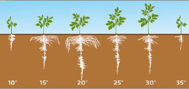 Когда сажать картофель: температура почвы при посадке