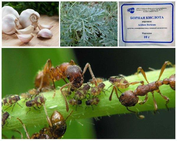 чем вывести муравьев с огорода