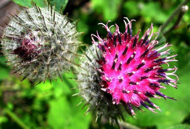 Лопух: лечебные свойства и противопоказания