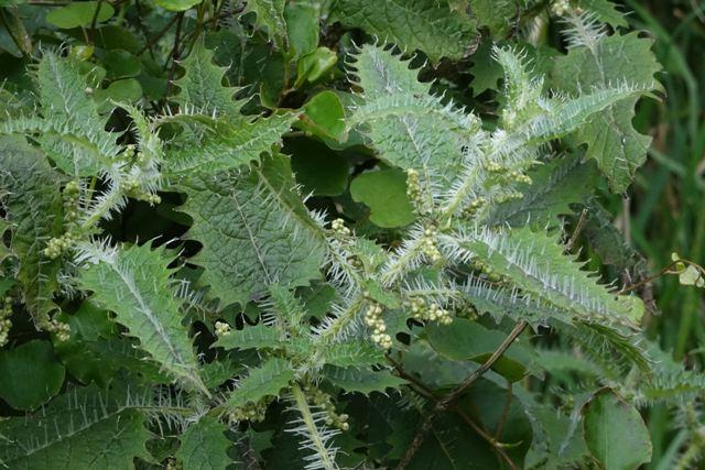 крапивное дерево онгаонга