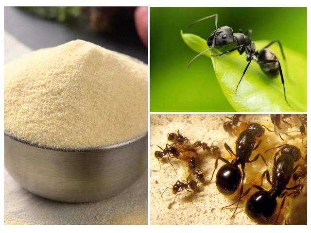 Как избавиться от муравьёв в огороде манкой