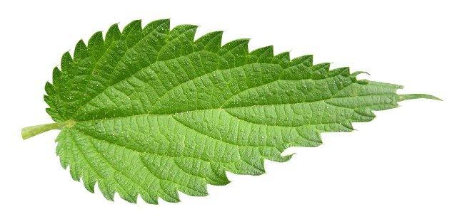 Крапива: лечебные свойства и противопоказания