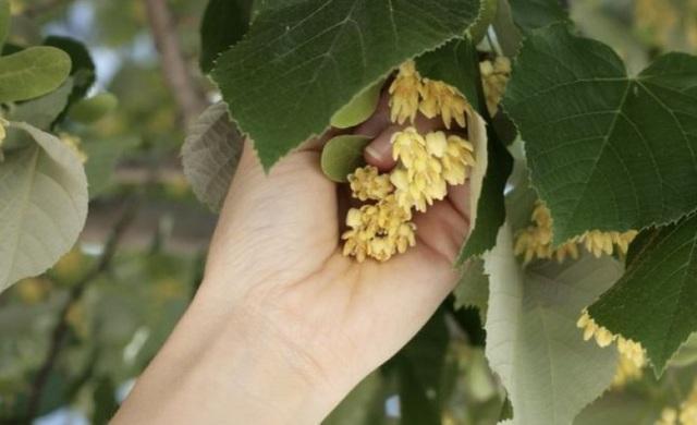 Как правильно собирать цветы липы