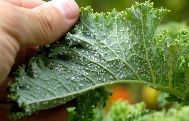 Какой вред наносит тля растениям