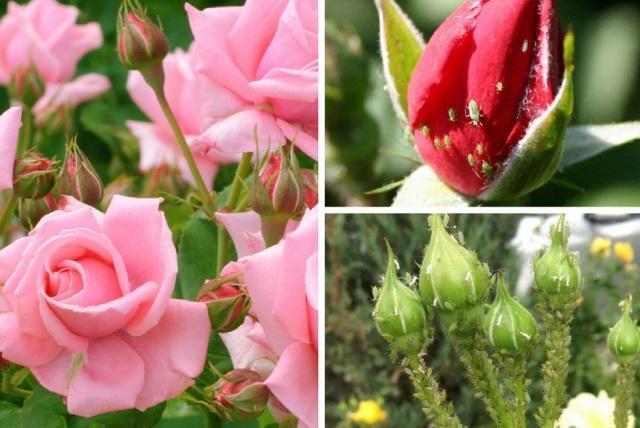 Как избавиться от тли в огороде навсегда на розах
