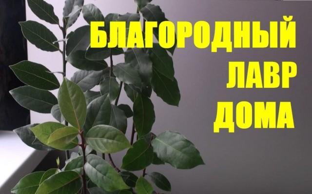 Лавровый лист: выращивание в домашних условиях