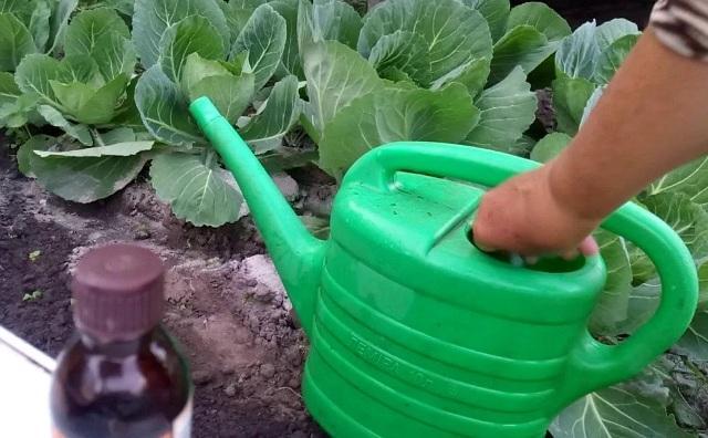 Йод для растений как удобрение для капусты