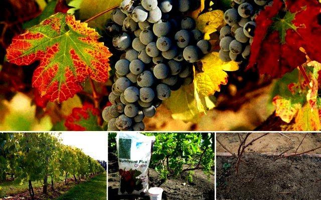Чем подкормить виноград для хорошего урожая