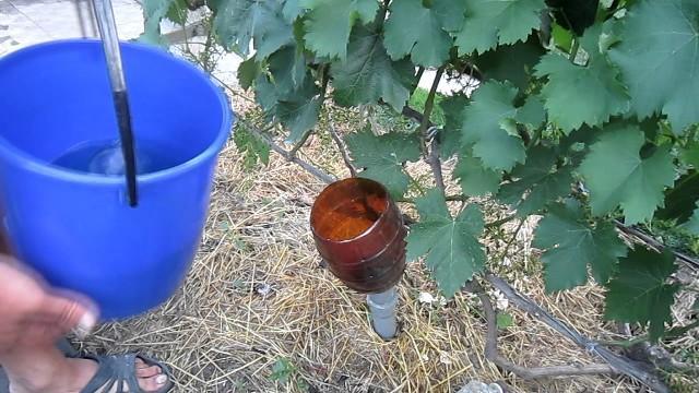 Как правильно подкармливать виноград