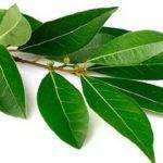 Лавровый лист: лечебные свойства и противопоказания