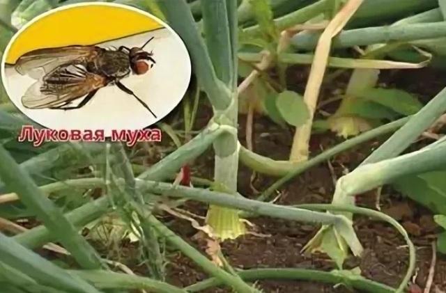 Луковая муха как с ней бороться народными средствами