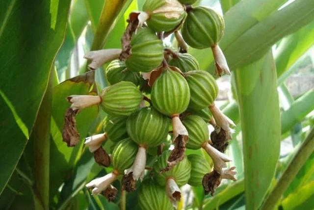 Кардамон полезные свойства и противопоказания. Семена кардамона