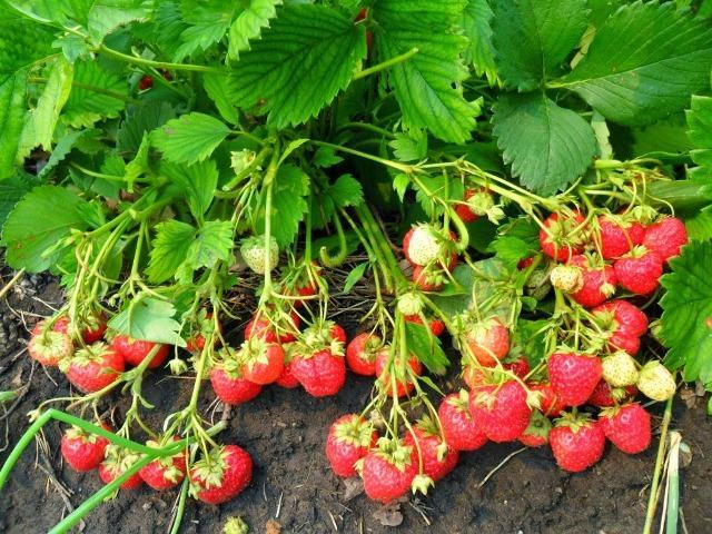 гроздья земляники