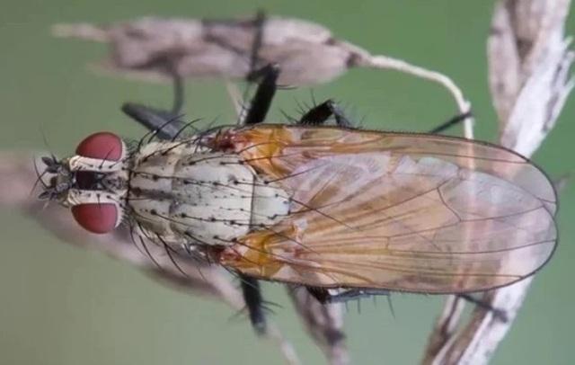 Луковая муха: как с ней бороться народными средствами
